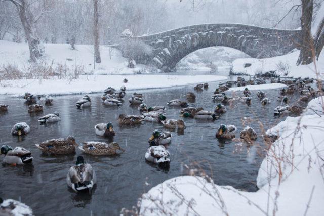Чем кормить уток зимой на пруду? Полезные и вредные продукты.