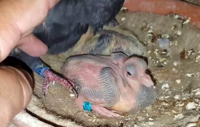 Птенец голубя: внешний вид, особенности, кормление