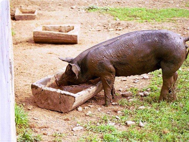 Комбикорм для свиней: состав, рецепты для приготовления