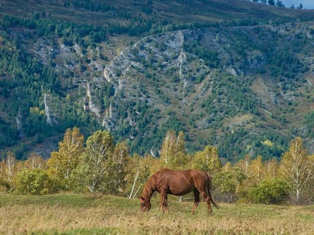 Лошадь тяжеловоз - незаменимых помощник на ферме