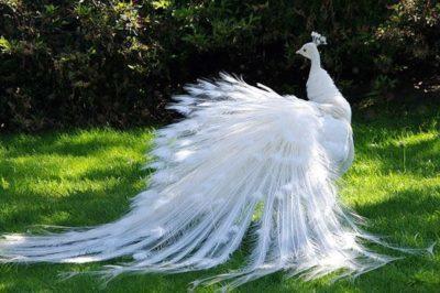 Самка павлина: внешний облик, отличие от самца, содержание