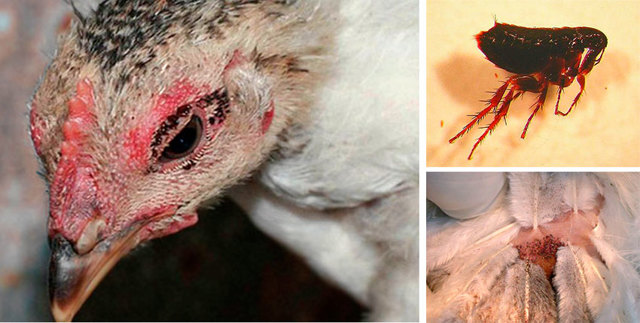 Куриные блохи - способы избавиться от паразитов у птиц