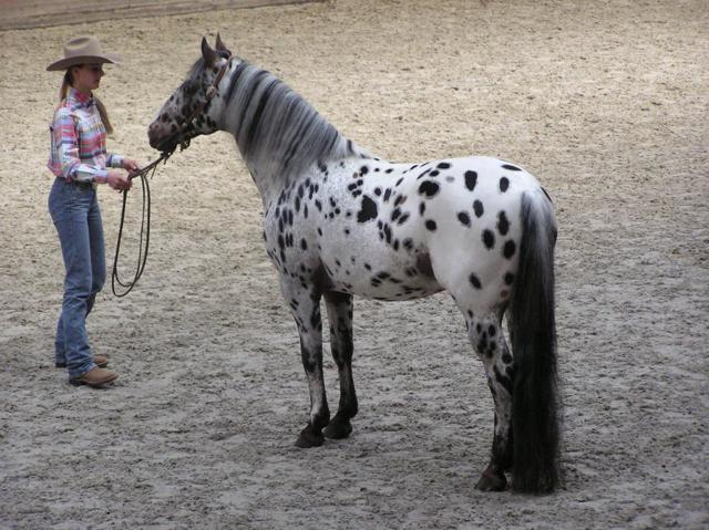 Лошадь Аппалуза - фото, описание, характеристика, история
