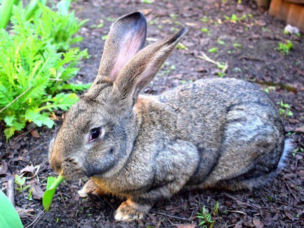 Кролики мясных пород: виды, советы по выбору, уходу за ними
