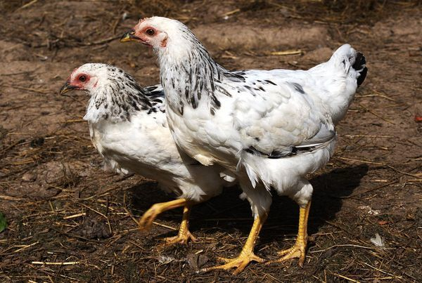 Гистомоноз птиц: диагностика, лечение, методы профилактики