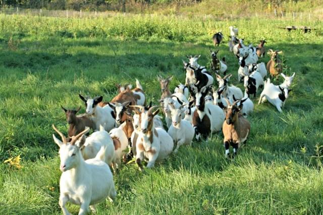 Коза домашняя - неприхотливое животное для разведения и молока