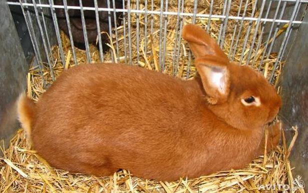 Новозеландский белые и красные кролики: история, внешний вид