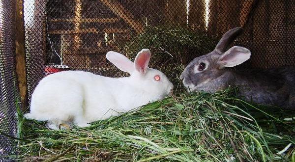 Крольчиха не подпускает крола - причины и решения