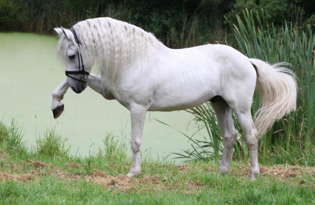 Андалузская лошадь - происхождение, особенности, покупка, разведение, уход и содержание