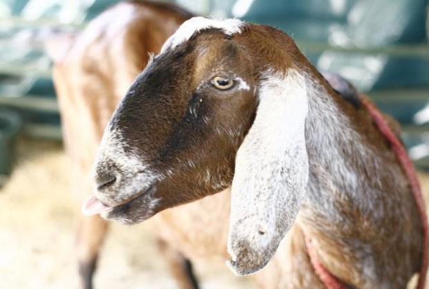 Нубийские козы: описание породы,содержание и уход