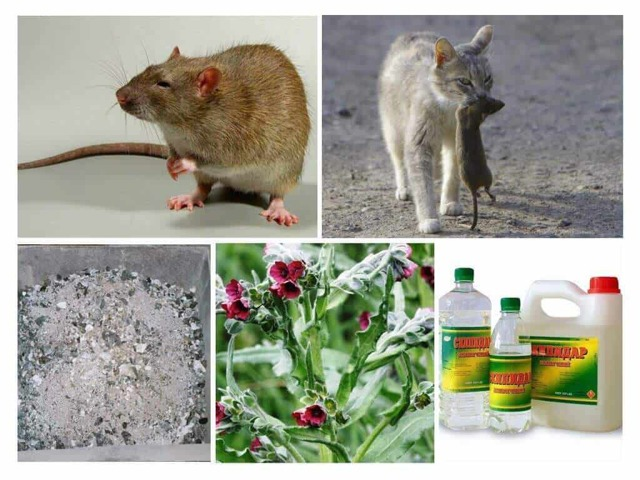 Как бороться с крысами в курятнике? Способы отпугивания крыс