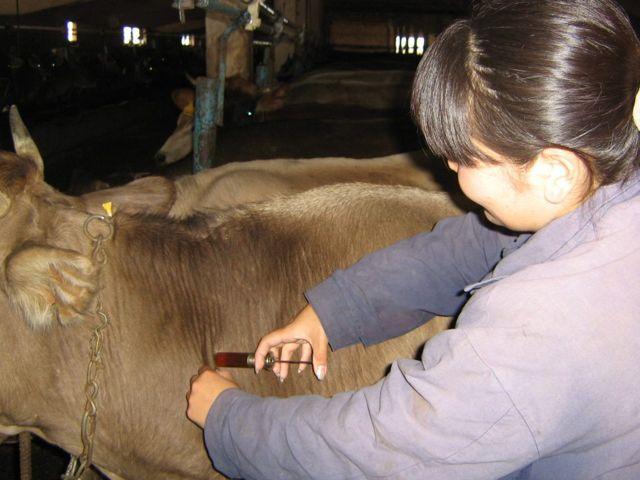 Ивермектин: инструкция по применению для скота