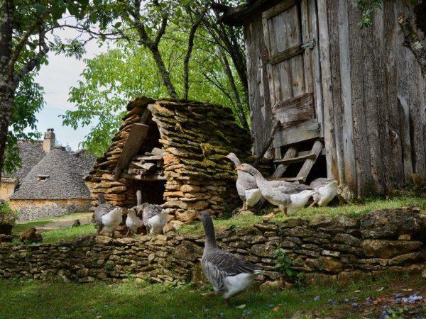 Как построить птичник для гусей