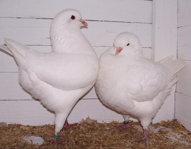 Домашние голуби: виды, правила содержания и разведения