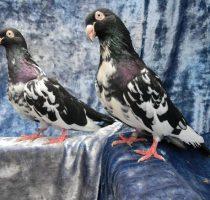 Разведение голубей в квартире, уход за домашними голубями