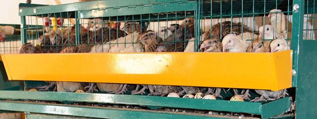 Перепелиная ферма: разведение перепелов как бизнес