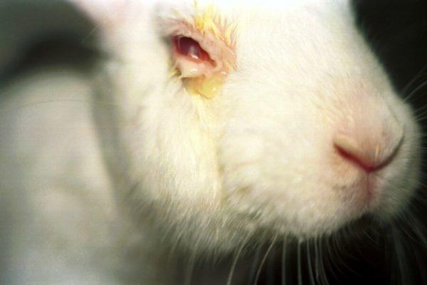 У кролика гноятся глаза: что делать, причины гноения, профилактика