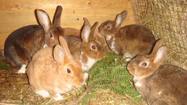 Кролики рекс - особенности породы, разведение, уход и кормление.