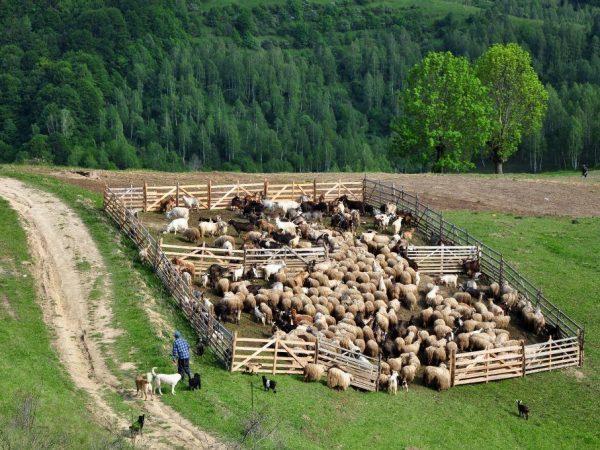 Загон для овец: строительство своими руками, 2 варианта