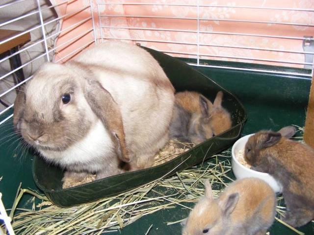 Как приучить кролика к лотку - обзор проверенных методов
