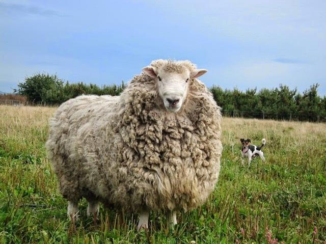 Порода овец Меринос: разновидности и особенности ухода
