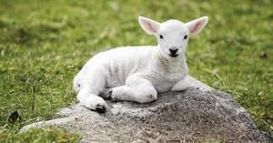 Как называется детёныш овцы: обзор с первых дней жизни