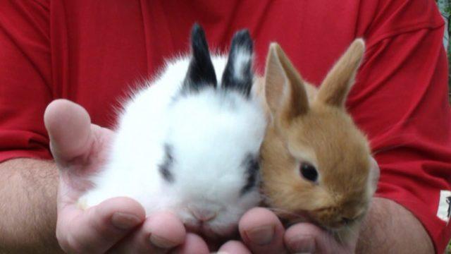 Карликовый кролик - особенности содержания в домашних условиях
