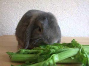 Чем кормить декоративного кролика - разрешенные продукты