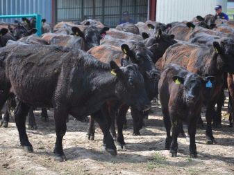 Средний вес быка информация для скотовода