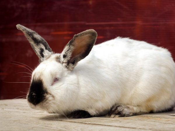 Калифорнийский кролик: описание породы, содержание, характеристика