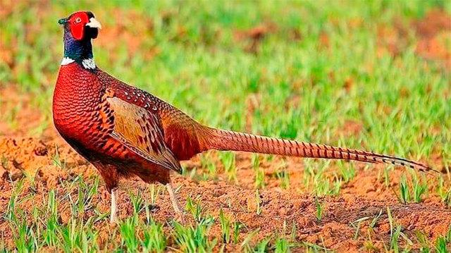 Разведение фазанов в домашних условиях: особенности содержания