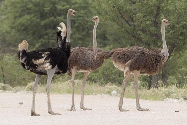 Сколько весит страус: о самой большой птице в цифрах и фактах