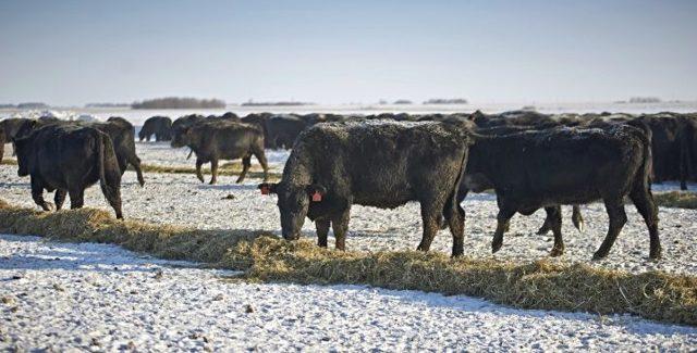 Абердин-ангусская порода коров - описание, продуктивность