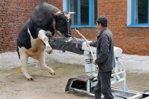 Бык производитель (осеменитель) - кормление, содержание, оценка
