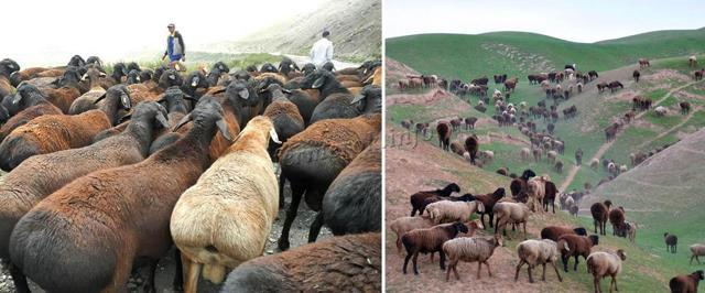 Курдючные породы овец: описание, разведение