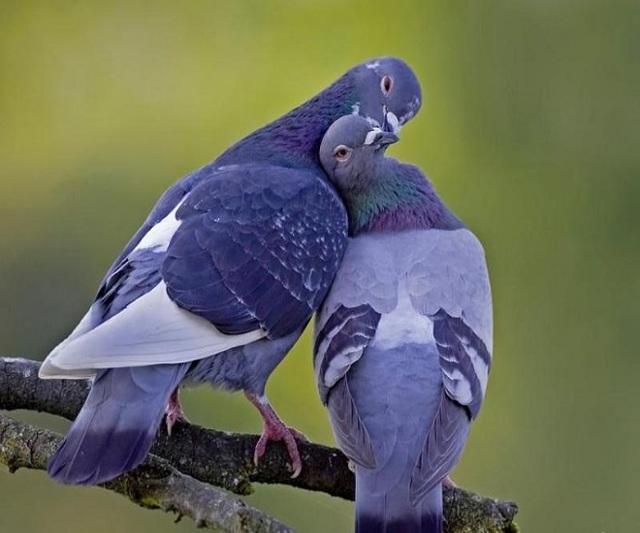 Нифулин форте для голубей: инструкция по применению