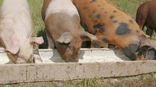 Откорм свиней - виды и особенности составления рациона