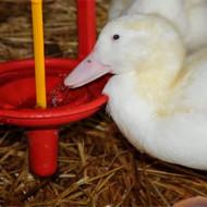 Как разводить гусей в домашних условиях: советы по содержанию