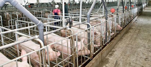 Бизнес-план свинофермы - расчет затрат и прибыли