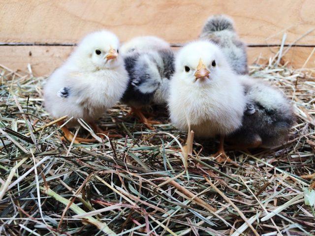 Брудер для цыплят своими руками - описание, функции брудера, пошаговая инструкция по созданию брудера для цыплят своими руками
